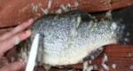 วิธีขอดเกล็ดปลาอย่างสะดวกและรวดเร็ว (Easy Fish Scaling)